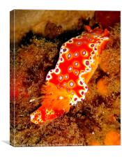 Bright Orange Nudibranch, Canvas Print