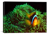 Clown Fish in Green Anemone, Canvas Print