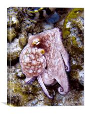 Octopus on the Rocks, Turks and Caicos, Canvas Print