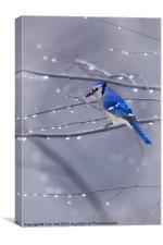 BLUE JAY IN THE RAIN, Canvas Print