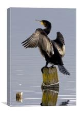 Cormorant Drying His Wing Feathers, Canvas Print