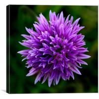 Chive Flower Macro, Canvas Print