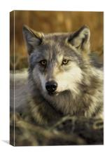 Intense Wolf Stare, Canvas Print