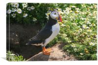 Puffin and Daisies, Canvas Print