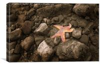 Starfish on the rocks, Canvas Print