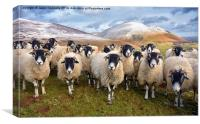 The Inquisitive Sheep, Canvas Print