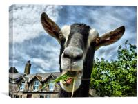 The Nosey Goat, Canvas Print