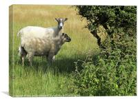 Sheep- shall we shan't we?, Canvas Print