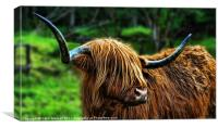 The Highland Coo, Canvas Print