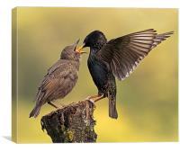 Starlings, Canvas Print