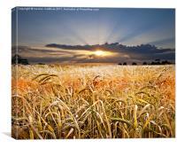 barley at sunset, Canvas Print