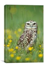 BURROWING OWL, Canvas Print