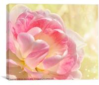 Pink and White Tulip, Canvas Print