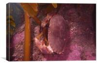 Brown crab, Canvas Print