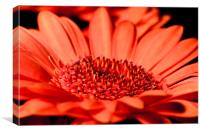 Orange Gerbera Closeup, Canvas Print