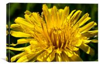 A Dandelion close-up in the summer sunshine, Canvas Print