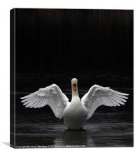 Mute Swan stretching it's wings, Canvas Print