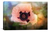 Pink Poppy Glow, Canvas Print