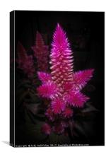 Celosia Intenz, Canvas Print