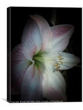 Spring Morning Amaryllis, Canvas Print