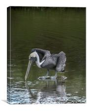 Brown Pelican, Canvas Print