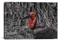 Southern Ground Hornbill, Canvas Print