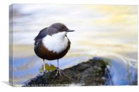 Dipper on river boulder., Canvas Print