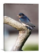 Juvenile Swallow, Canvas Print