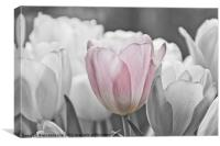 Hint of Pink, Canvas Print
