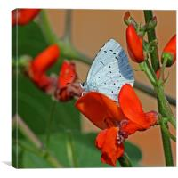 Small Blue Butterfly, Canvas Print