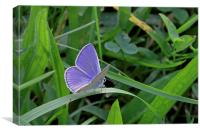 Silver-Studded Blue butterfly  , Canvas Print