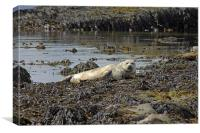 Harbour Seal, Canvas Print