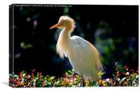 Egret with back lighting, Canvas Print