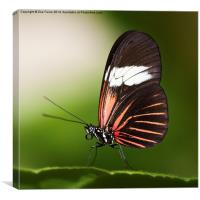 Red Postman Butterfly, Canvas Print