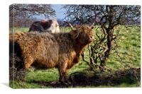 Highland cattle and a gnarled tree, Canvas Print