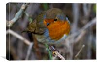 Fluffed up Robin, Canvas Print