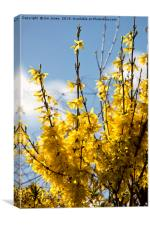 Forsythia under a blue sky and white clouds, Canvas Print