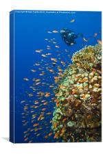 Anthias Attack, Canvas Print