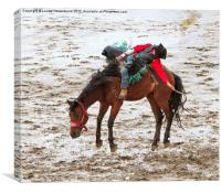 Bareback riding event, Calgary Stampede, Alberta, , Canvas Print