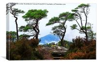 Twisted Pines in Glen Affric, Canvas Print