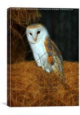 Barn Owl, Tyto alba, Canvas Print