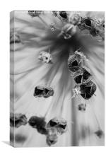 Seeded Allium I, Canvas Print