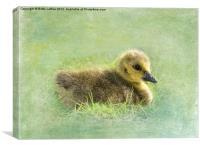 Canada Gosling Portrait, Canvas Print