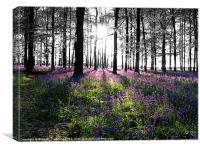 Bluebell Woods, Ashridge, Canvas Print