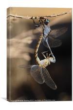Dragonflies mating, Canvas Print