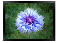 Wild Blue Cornflower, Framed Print