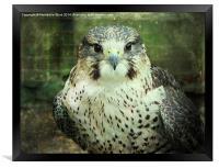 Peregrin Falcon, Framed Print
