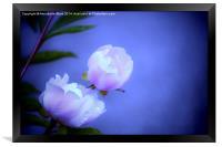 Soft Pink Flowers., Framed Print