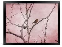 Chaffinch and Pink Sky., Framed Print
