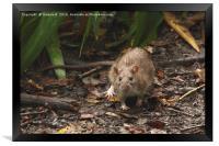 Rat Appearance, Framed Print